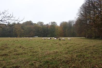Schafe im Elswout